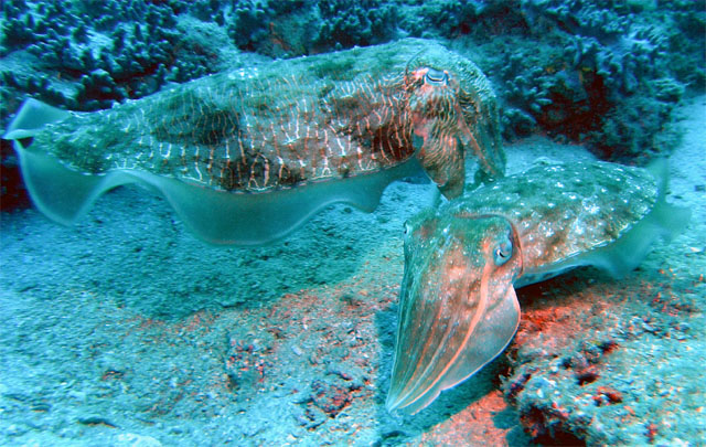 A cuttlefish captured on cam while scuba diving in Redang Island