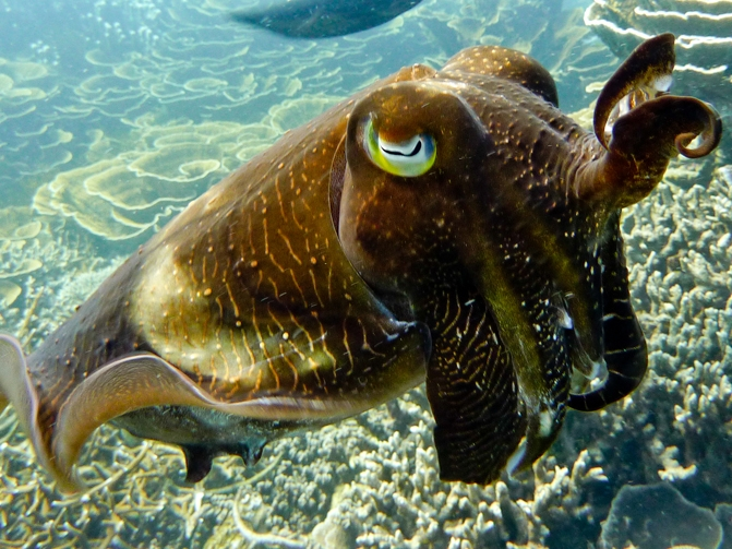 A snapshot of a cuttlefish in Redang Island