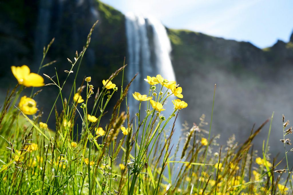 Wildflowers by the Seljalandsfoss waterfalls