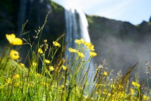 Wildflowers by the Seljalandsfoss waterfalls